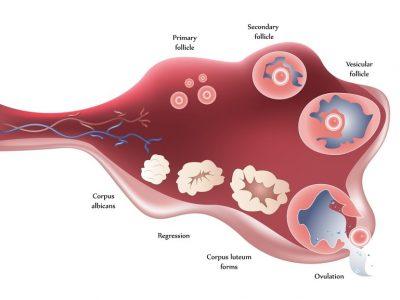 Könscellsöverföring i äggledaren
